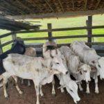 Seis cabeças de gado são recuperadas pela Polícia Militar